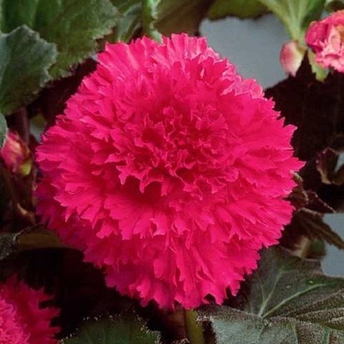 розовая бегония фимбриата