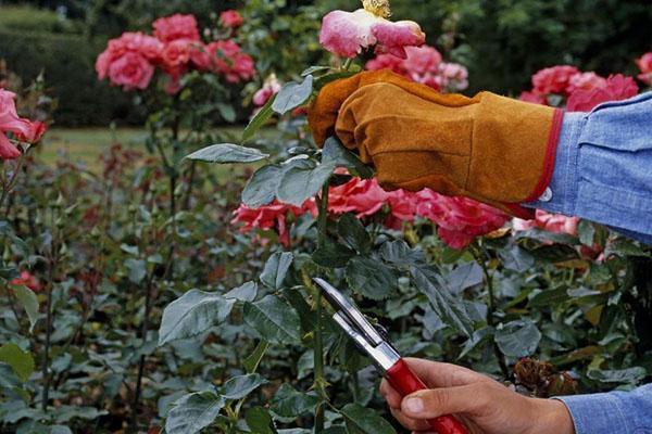 обрезка цветоносов многолетников