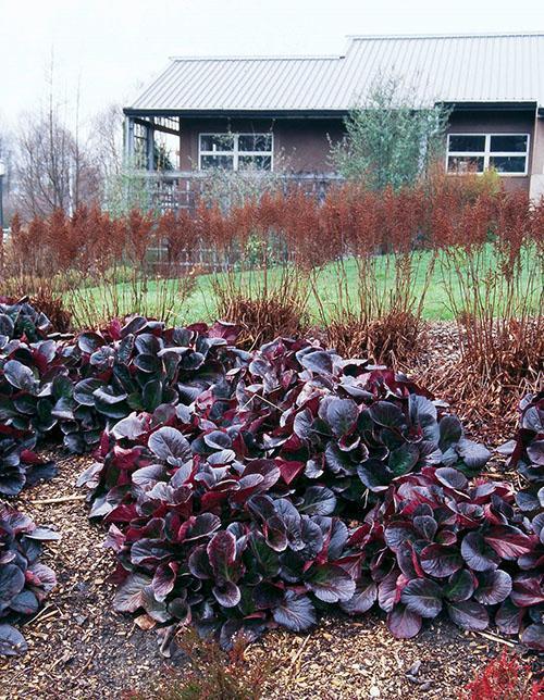садовый бадан осенью