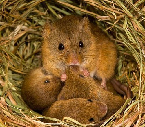 семья мышей полевок