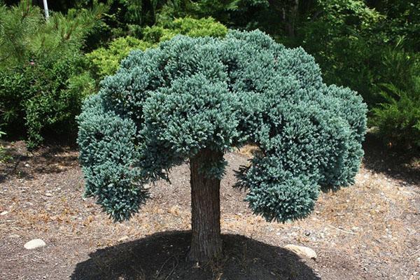 Штамбовая форма Juniperus squamata Blue Star Standard