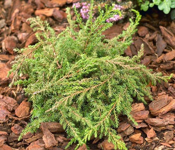 Стелющийся можжевельник обыкновенный Green Carpet