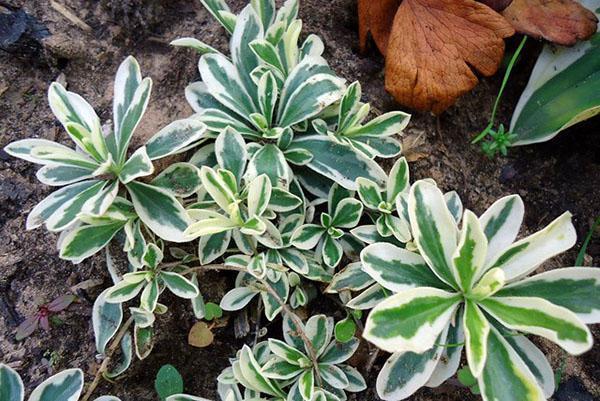 Бело-зеленая декоративная листва арабиса