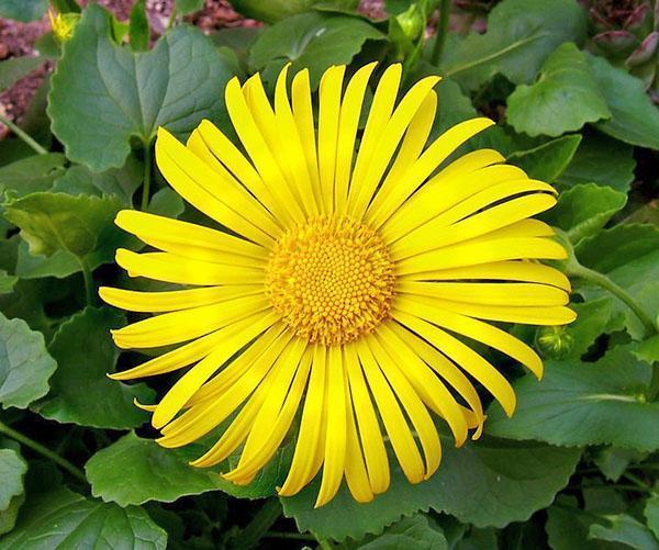 Соцветие-корзинка желтого дороникума