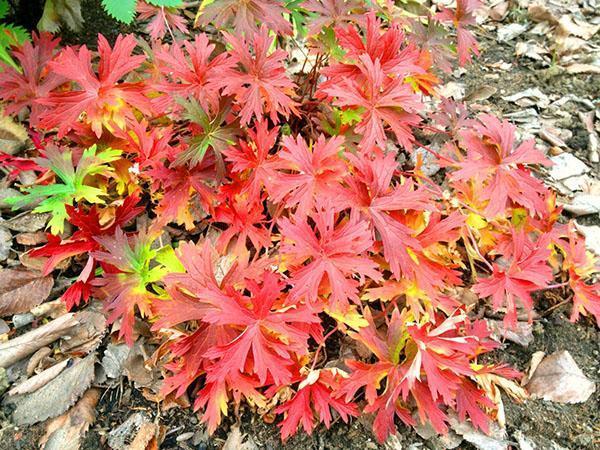 осенняя листва герани