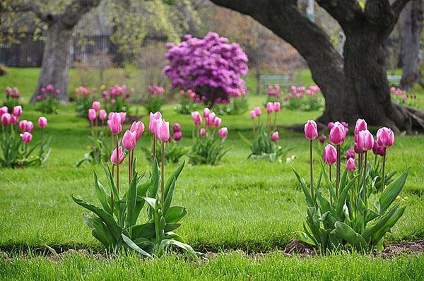 Весеннее цветение сортовых тюльпанов