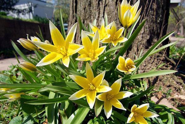 Низкорослые ботанические тюльпаны