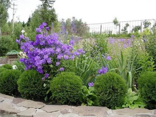 туя даника и цветущие растения