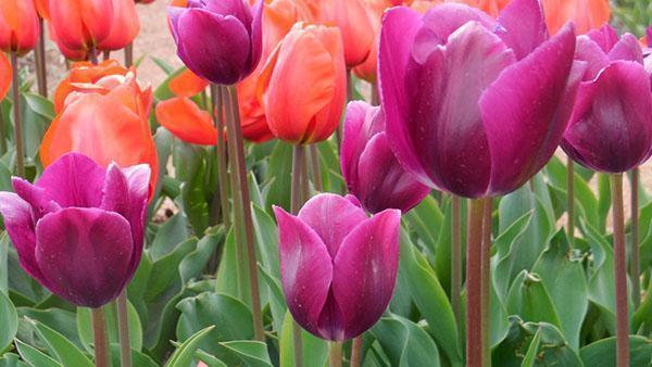 тюльпаны сорта Demeter