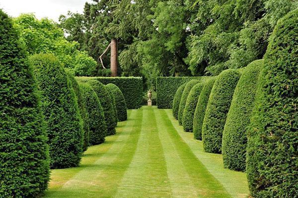 удивительной красоты сад из туи