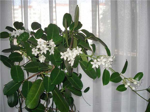 вечнозеленый комнатный жасмин