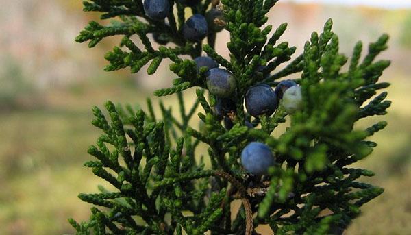 ветка можжевельника виргинского с плодами