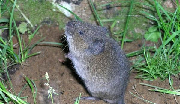 вредитель грядок мышь