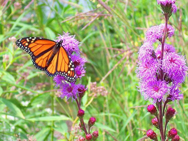 бабочка на кусте лиатриса