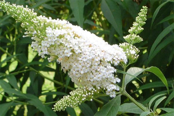 белые цветы будлеи