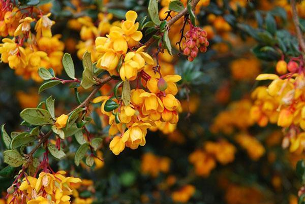 цветет барбарис Дарвина