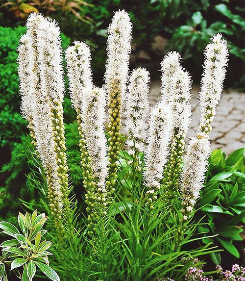 цветет белый лиатрис