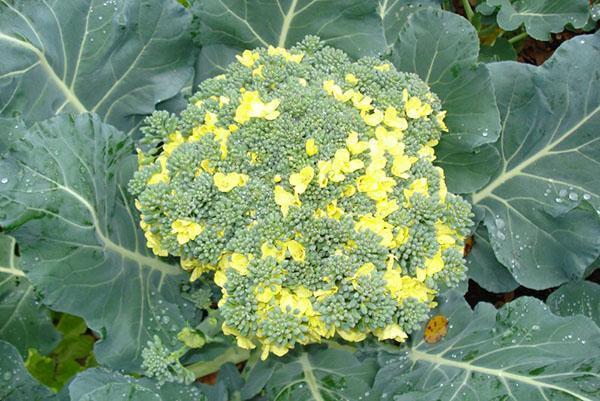 цветет брокколи