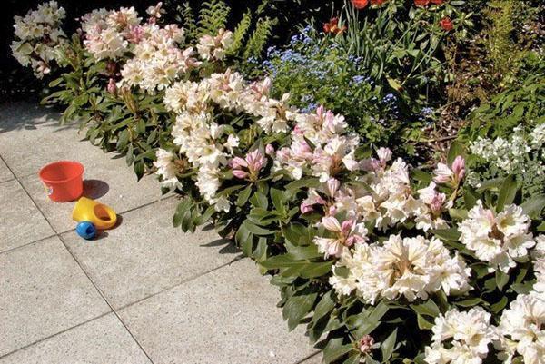 цветет рододендрон на клумбе
