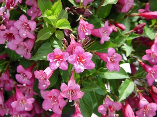 цветет вейгела обильноцветущая