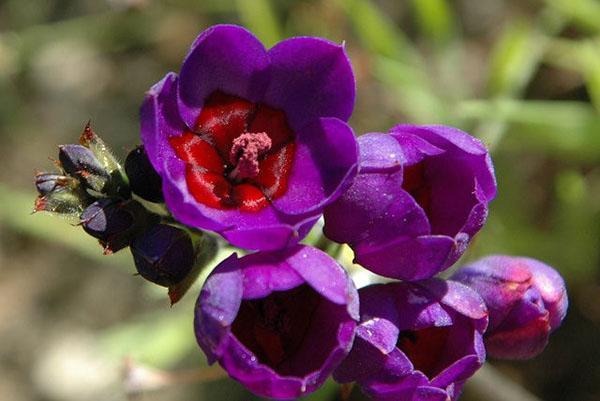 длительное яркое цветение бабианы