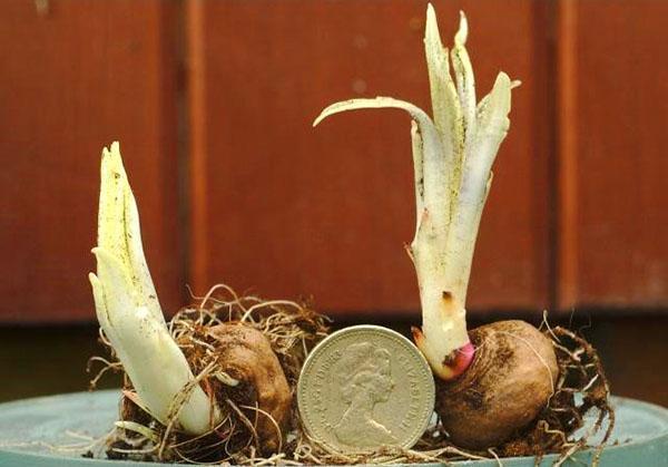 луковицы лиатрис