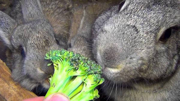 кролики едят овощи