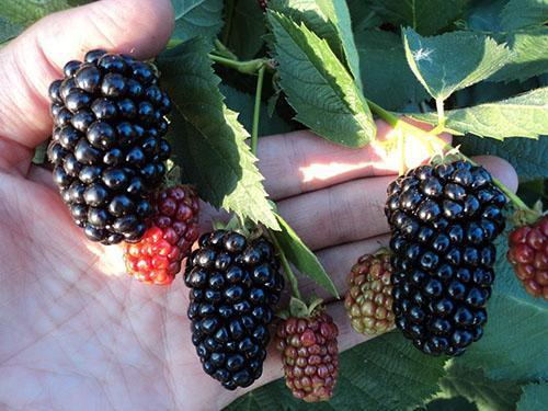 крупные ягоды ежевики