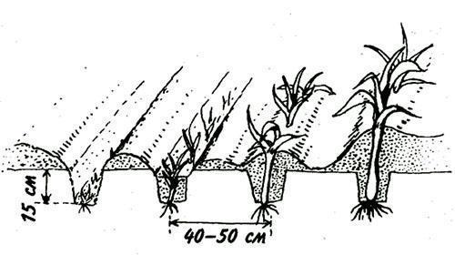 лук-порей от посадки до уборки