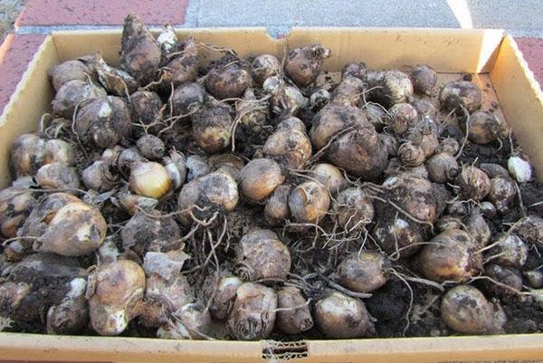 луковицы гиацинтов на хранение