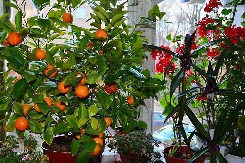 мандарин с плодами