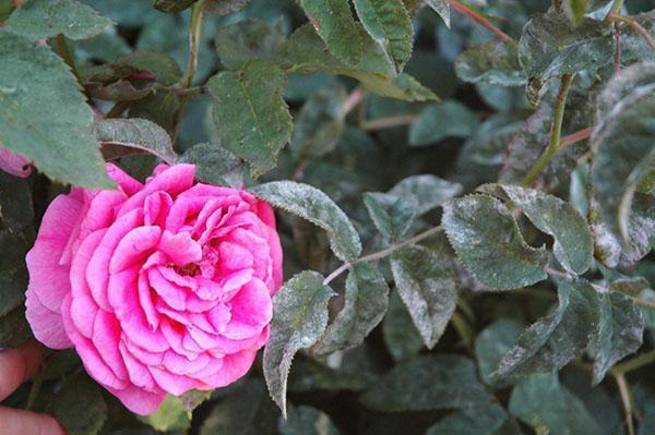 медный купорос для роз