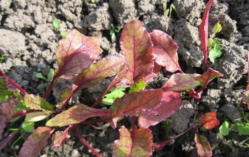 мелкие красные листья свеклы
