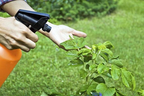 обработка растений раствором кофейного жмыха