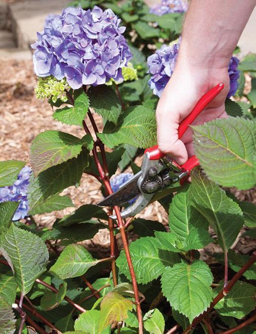 обрезка цветоносов гортензии