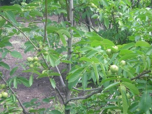 орех с плодами