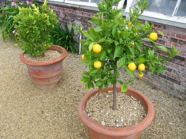 плодоносящий комнатный лимон