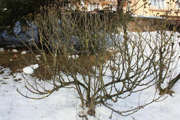 Как сохранить гибискус зимой в саду
