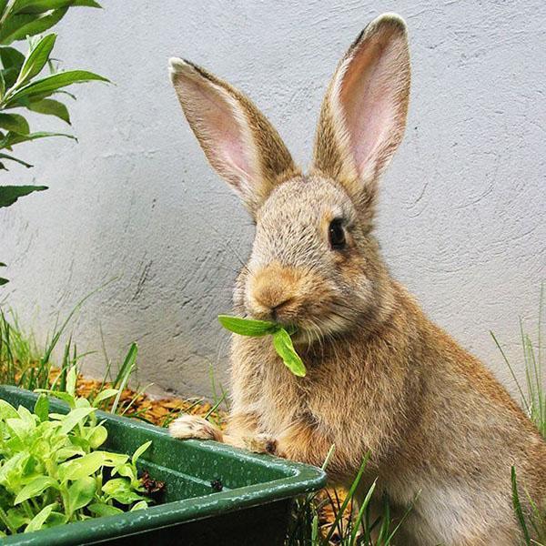 полноценное кормление кроликов