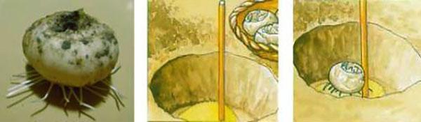 посадка луковицы рябчика
