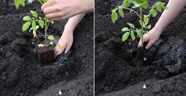 посадка рассады с закрытой корневой