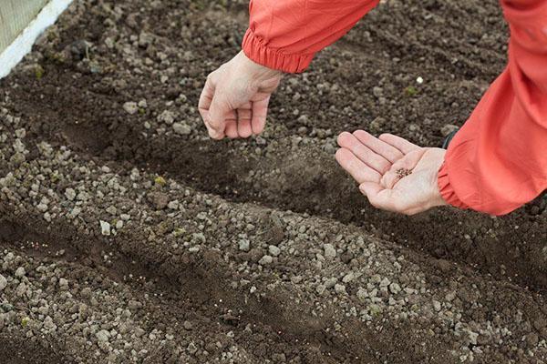 посев редиски в открытый грунт