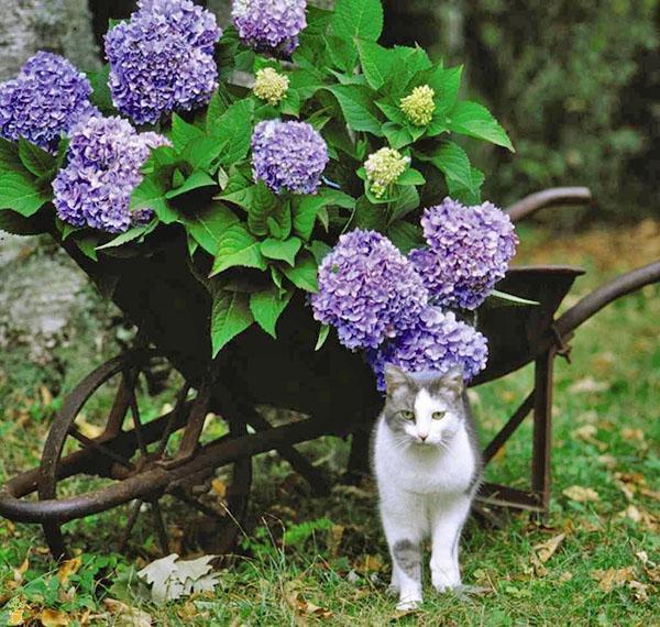пышное цветение гортензии