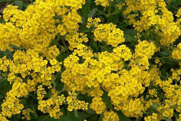 пышное цветение многолетнего алиссума