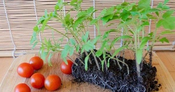 Как правильно садить помидоры в открытый грунт