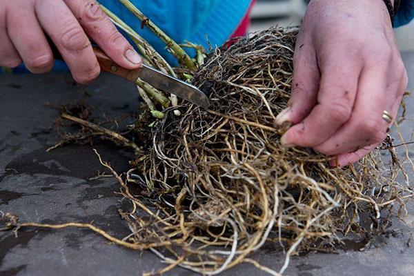 деление корневой флокса