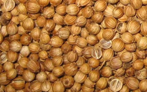 сбор семян кориандра