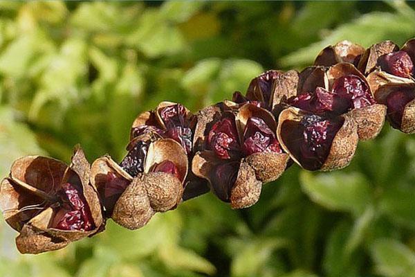 семена крокосмии