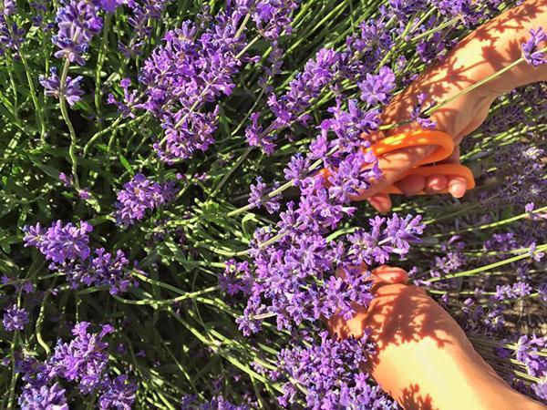 срез цветов лаванды
