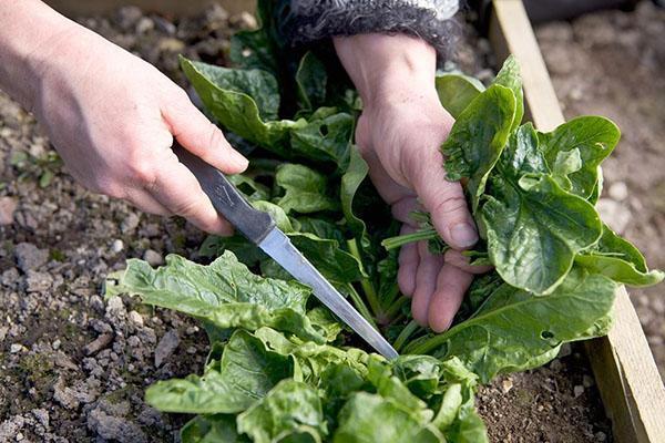 срезаем листья шпината
